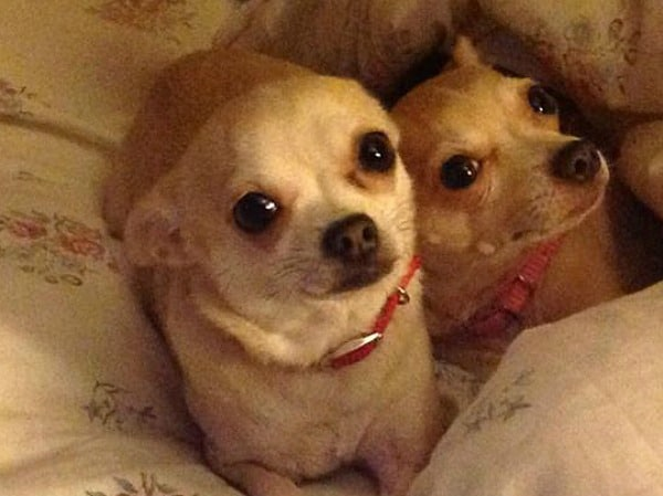 Gabby and Ruby the Chihuahuas