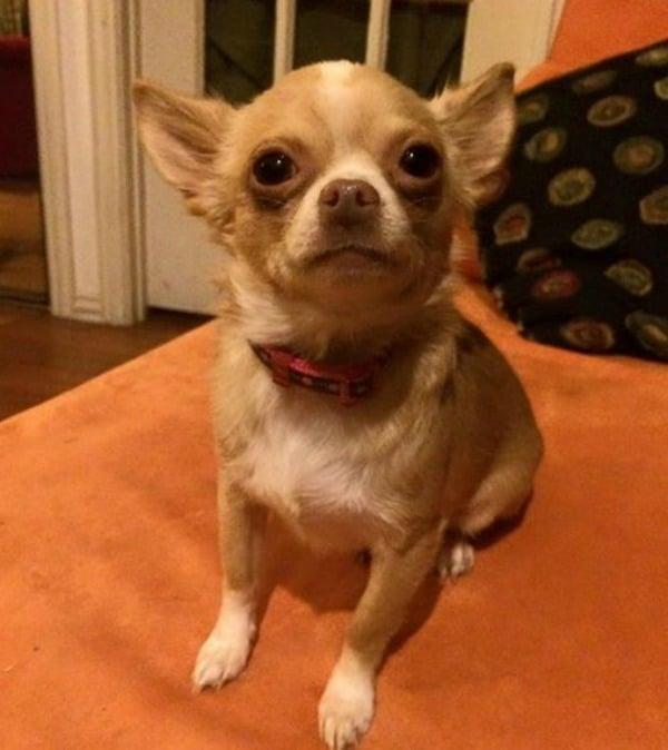 Sofie the Chihuahua