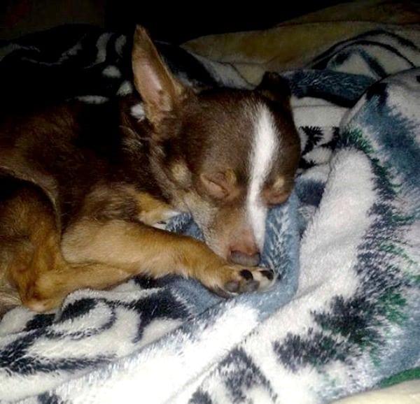 Coka Moka the Chihuahua