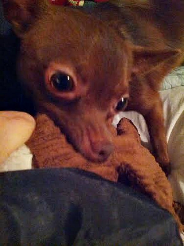 Frodo the Chihuahua