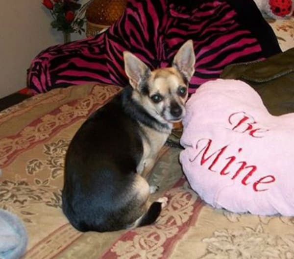 Miss Daisy the Chihuahua