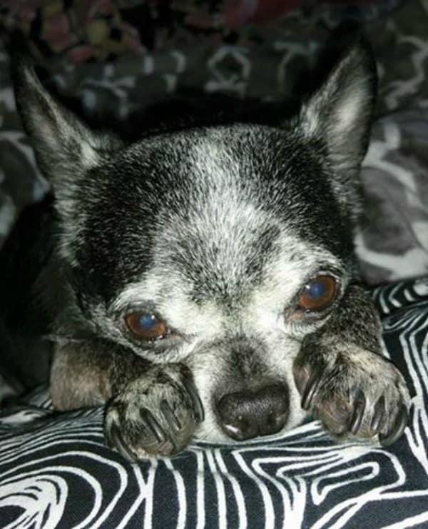 Neeko the Chihuahua