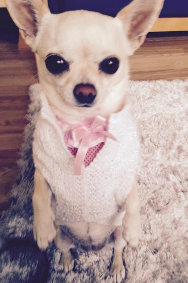 Tinkerbell the Chihuahua