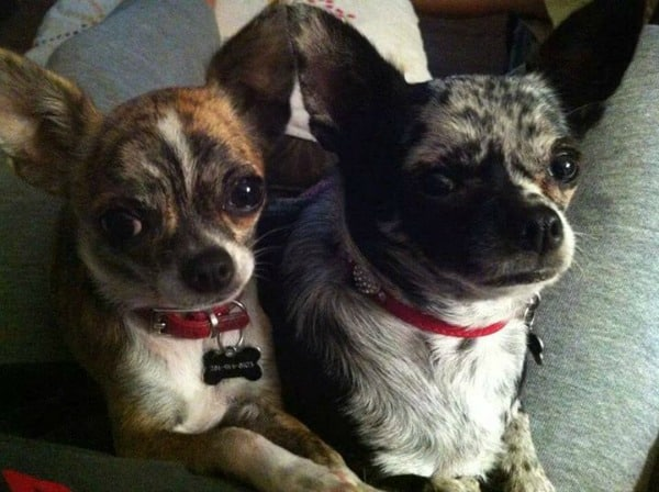 Maggie and Gracie the Chihuahuas