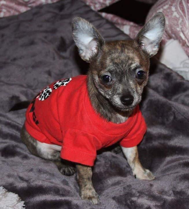 Ray-Ray the Chihuahua