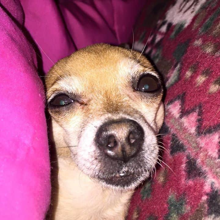 Taco the Chihuahua