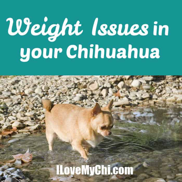 chubby chihuahua walking in stream