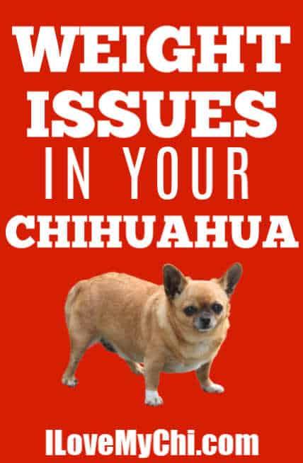 fat chihuahua