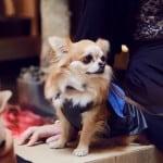 A Chihuahua Fashion Show
