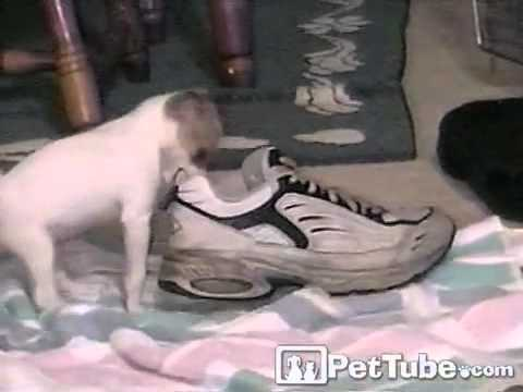 Chihuahua loves Shoes