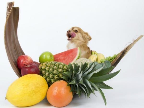 Chihuahua and fruit