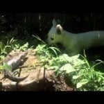 Lizard vs Chihuahua