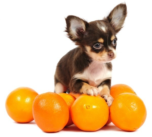 oranges and Chihuahua puppy