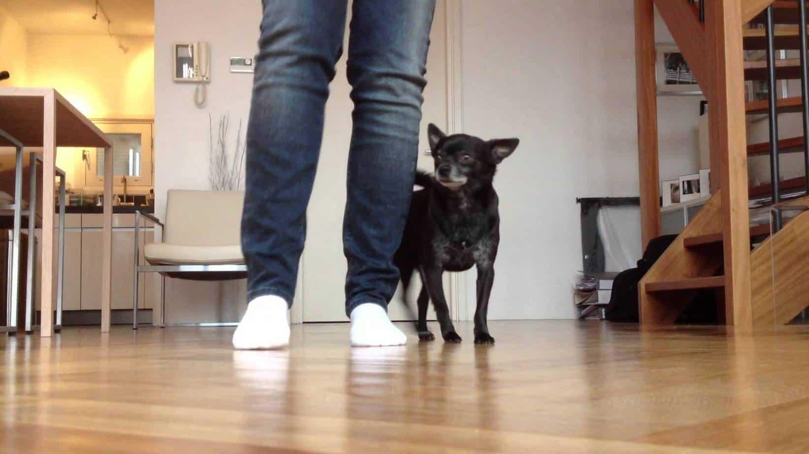 Smartest Chihuahua