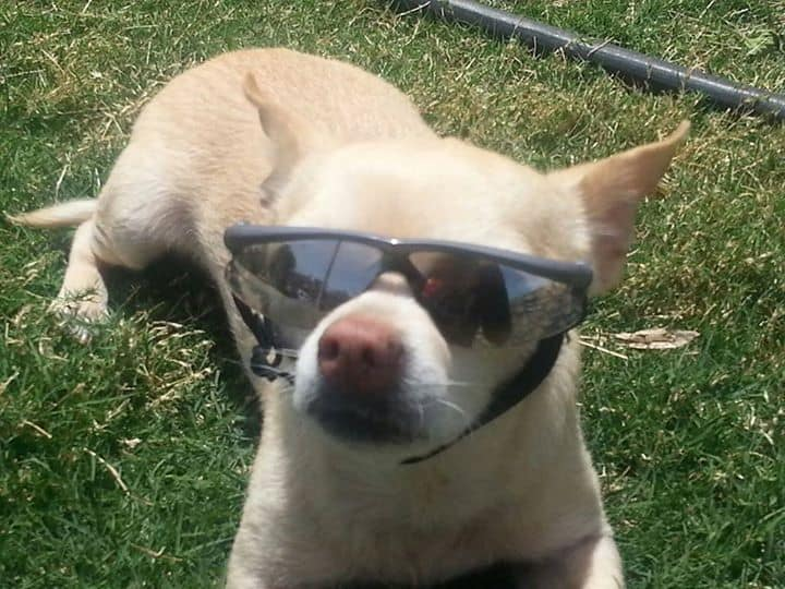 Chihuahua in sunglasses