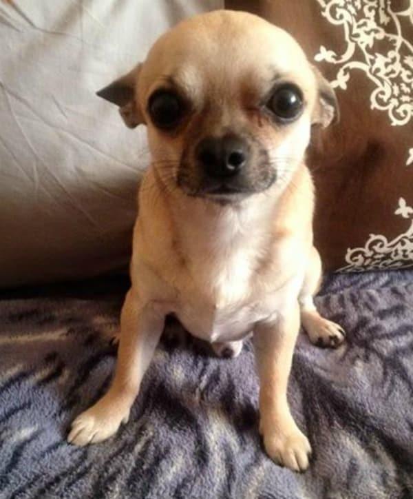 Nero the Chihuahua