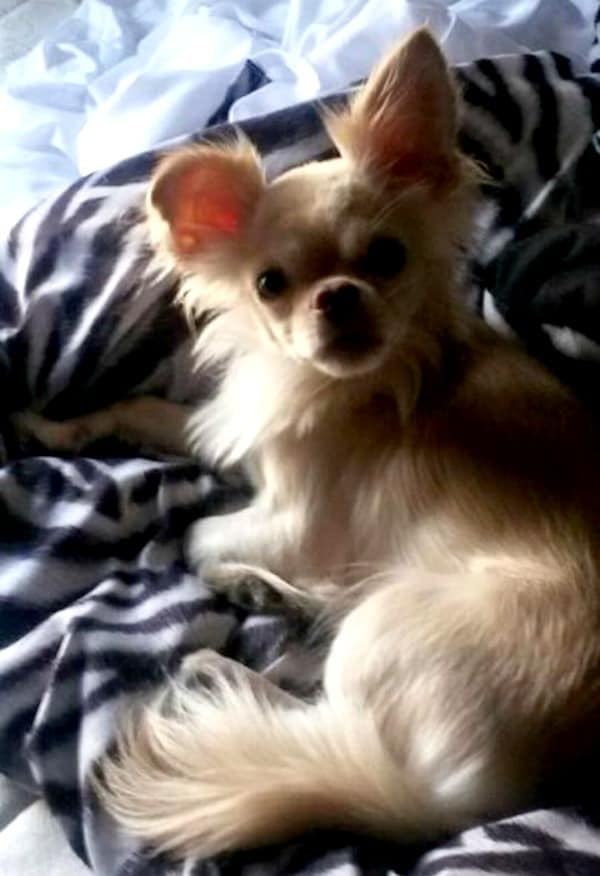 Long hair fawn Chihuhaua
