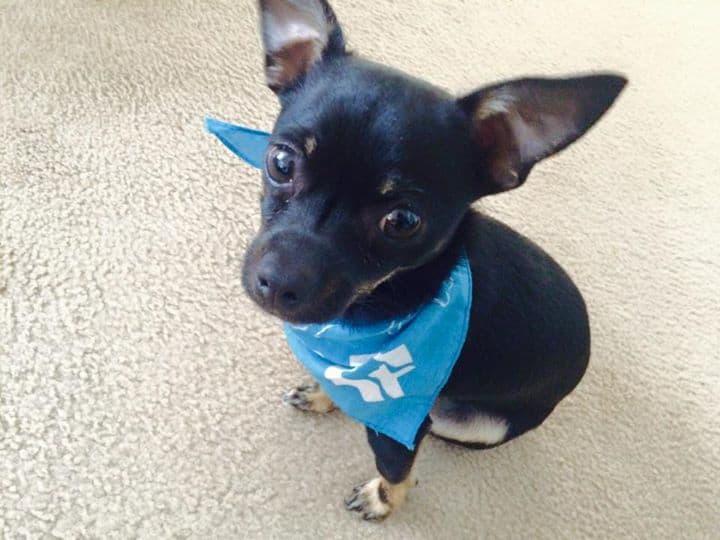 Little Boy Blue the Chihuahua