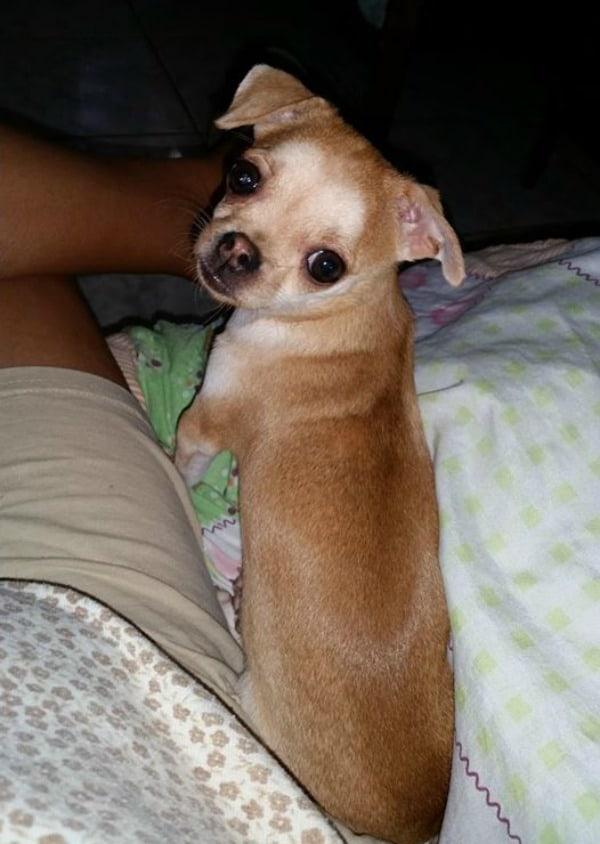 Sassy the Chihuahua