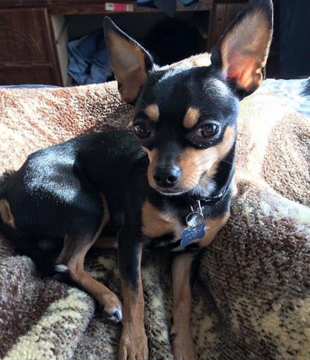 Toby the Chihuahua