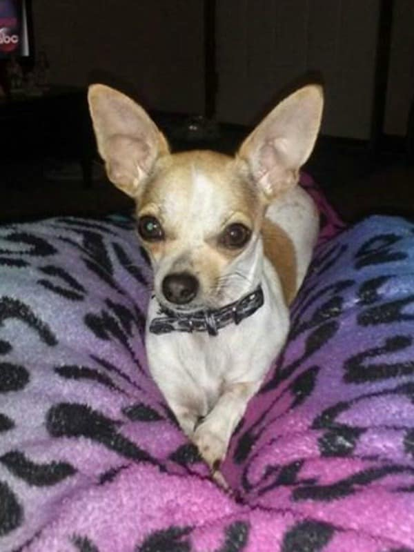Carrie Buckland Thomason the Chihuahua