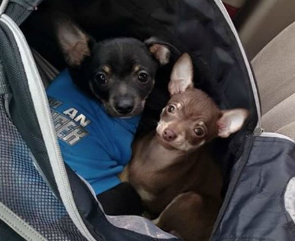 Brutus and Bailey the Chihuahuas