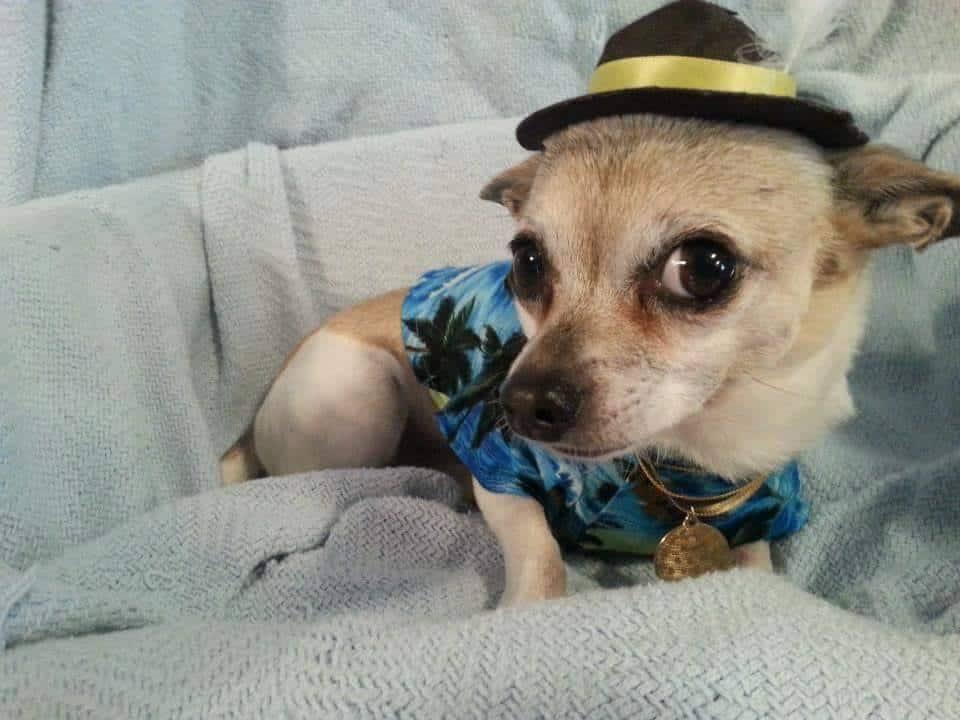 Broo-no Marz the Chihuahua