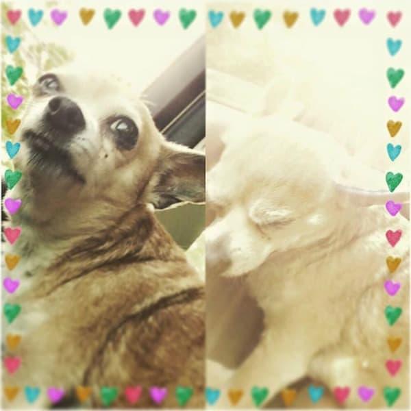 Crickett the Chihuahua