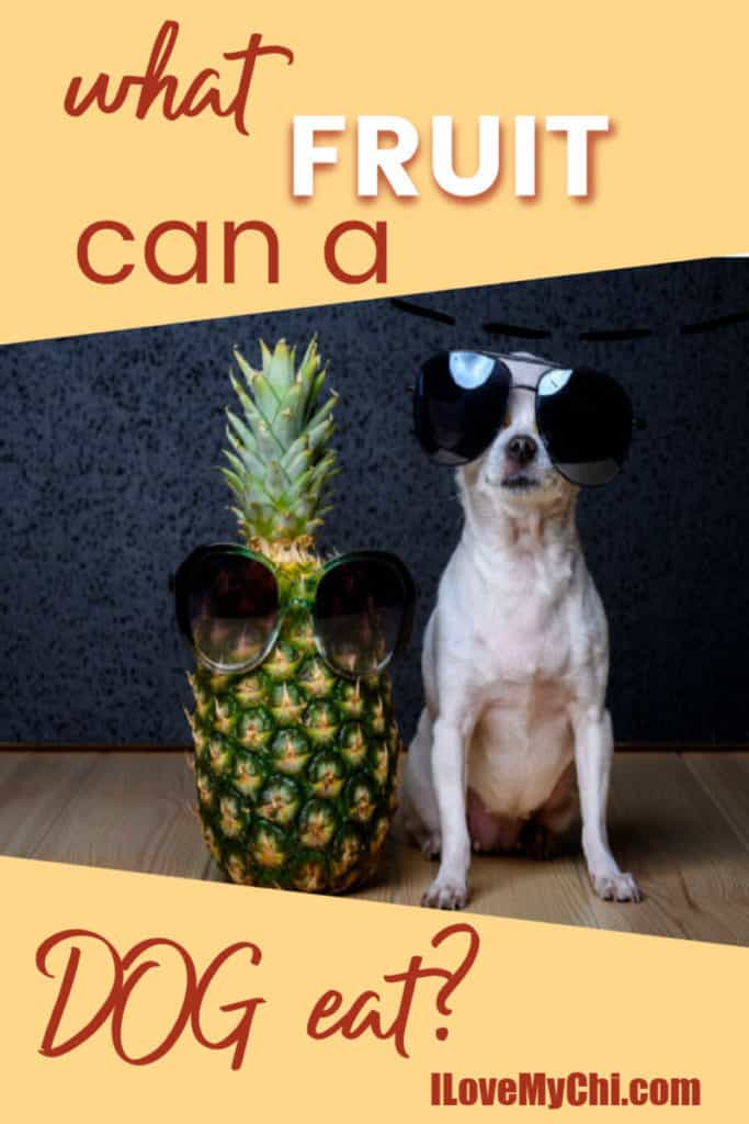 pineapple with sunglasses with chihuahua with sunglasses