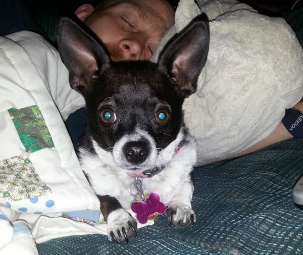 Chloe the Chihuahua with her sick daddy