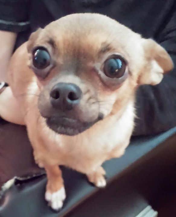 Lulu Beast the Chihuahua