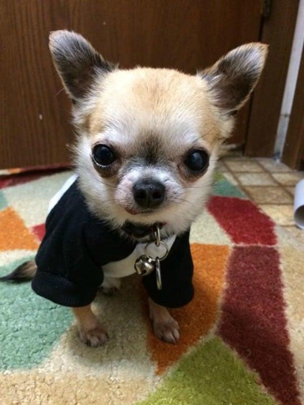 Bo the Chihuahua