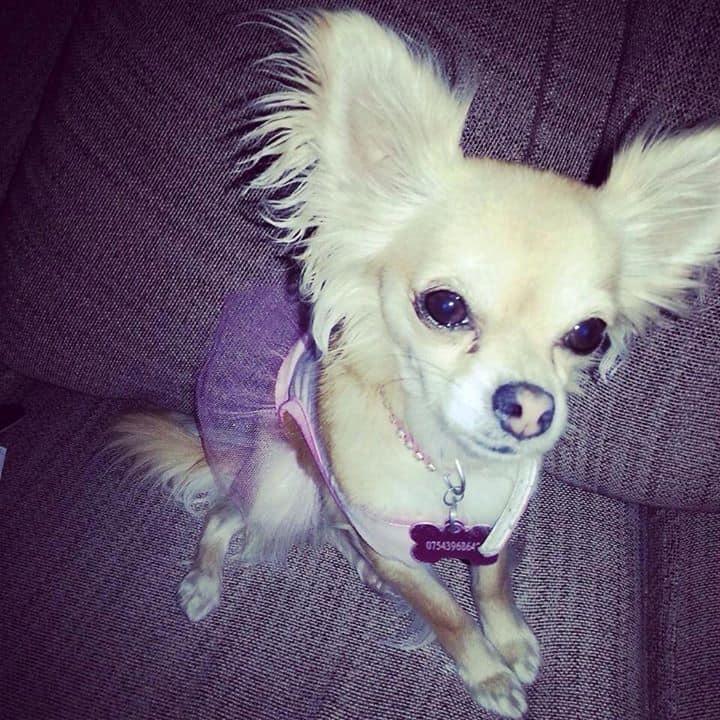 Evie the Chihuahua