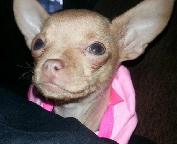 Fawn Chihuahuas | I Love My Chi