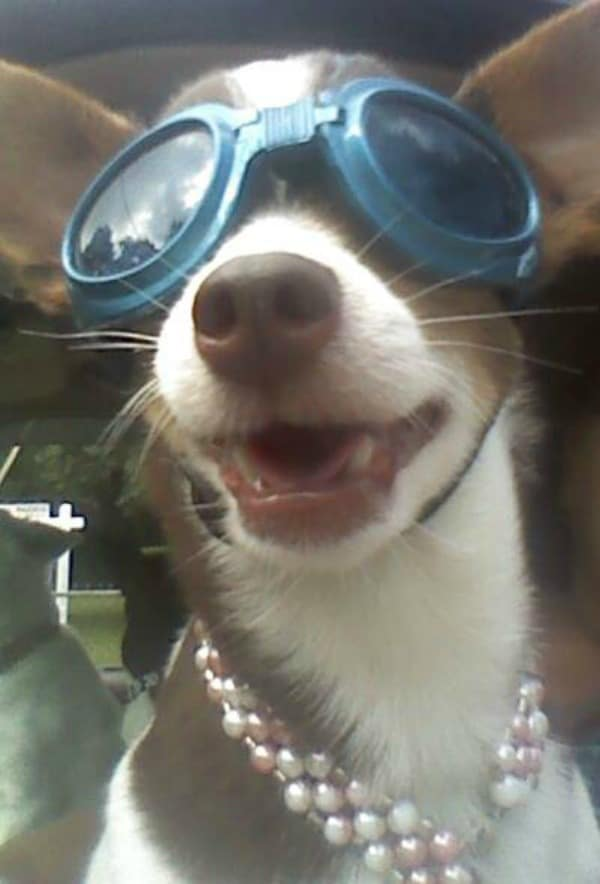 Chihuahua in doggles
