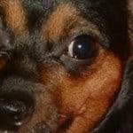 Kelly's Chihuahua Story