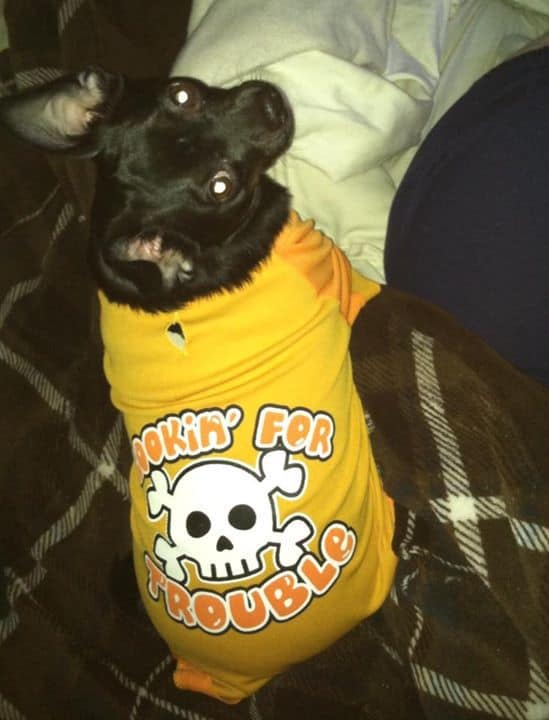 Snoopy the Chihuahua