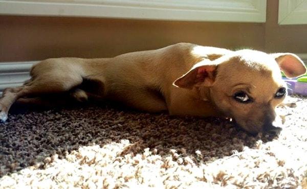 Zac the Chihuahua