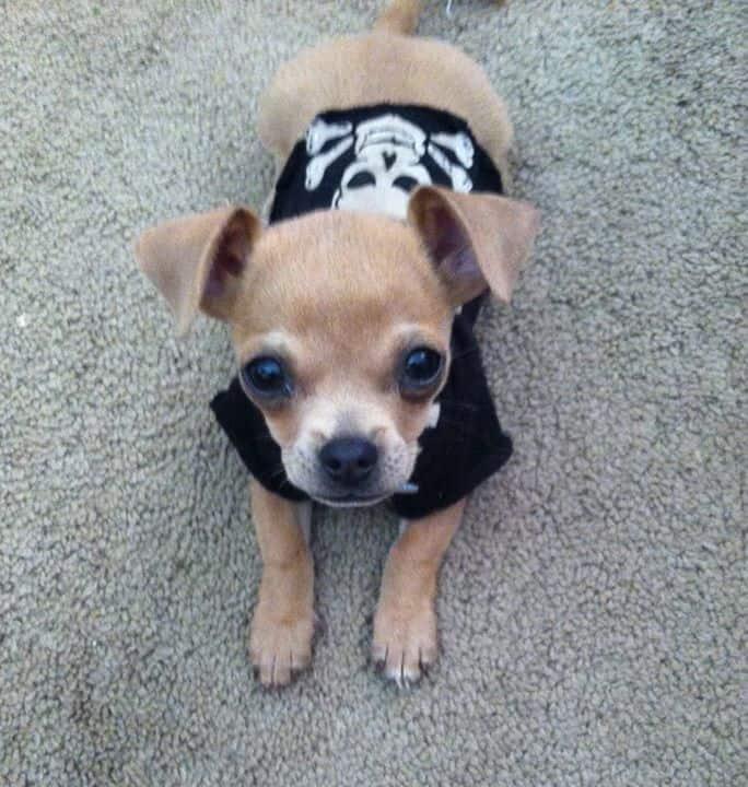 Roscoe the Chihuahua