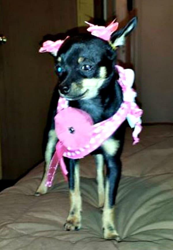 Holli the Chihuahua