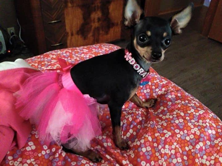 Dora the Chihuahua