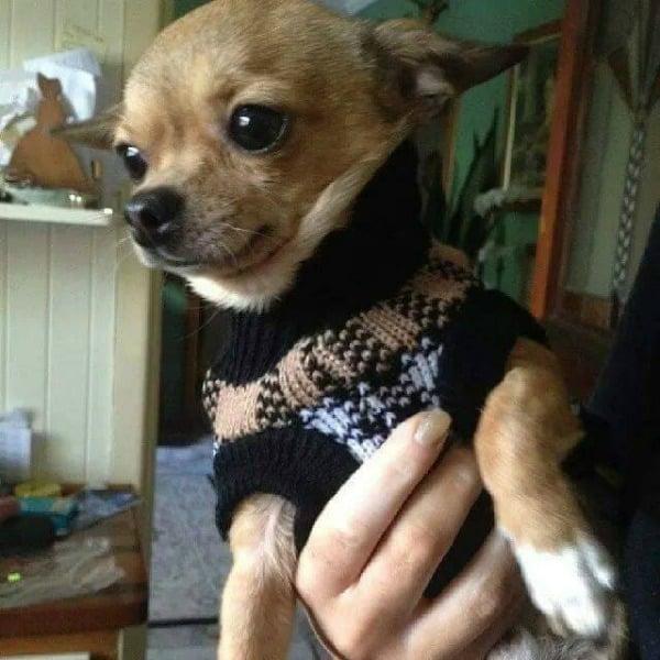 Viper the Chihuahua