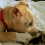 Fawn Chihuahuas