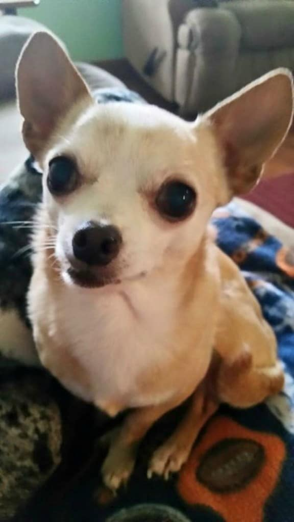 Tootsie the Chihuahua