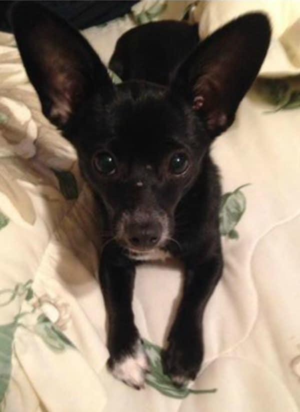 Priya the Chihuahua