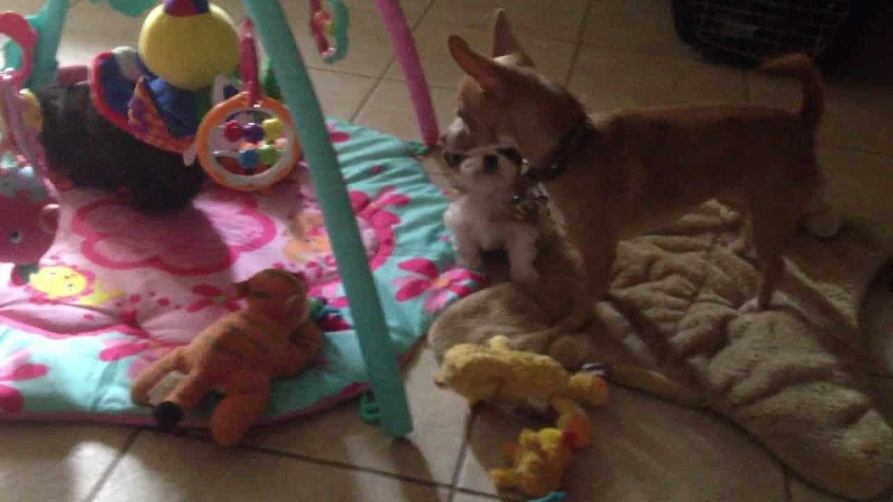 A Chi Babysitter