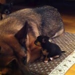 German Shepherd with a Chi Puppy