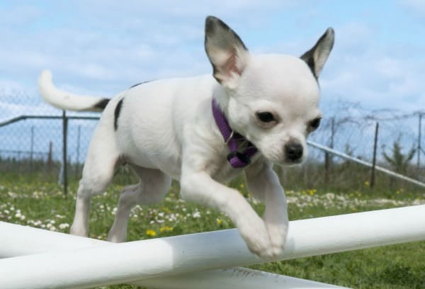 agility training Chihuahua