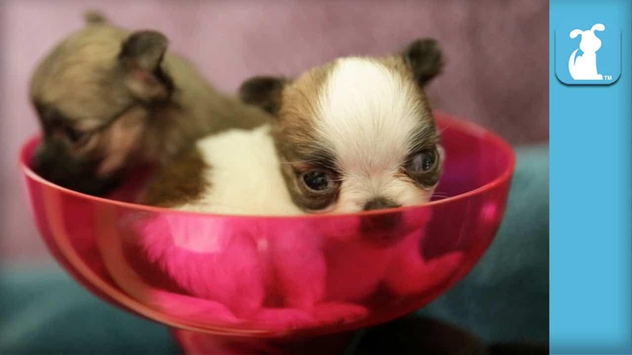 Margarita Glass full of Chi Puppies