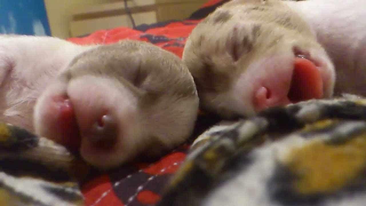 Newborn Puppies Having Puppy Dreams